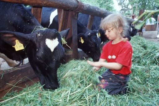Kind füttert Kühe mit frischem Gras