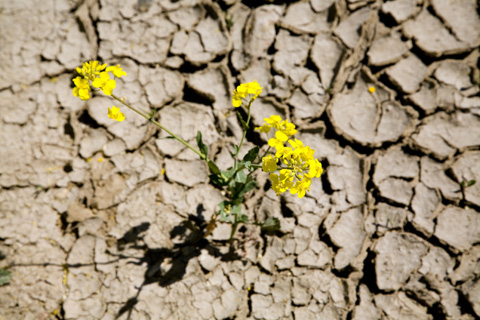 Rapspflanze auf trockenem Boden