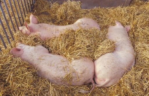 Schweine im Stroh mit Auslauf