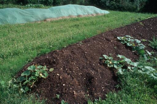 Kompost mit Kürbispflanzen