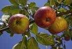 Bio-Äpfel am Ast