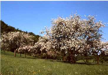 Blühende Obstwiese am Teutoburger Wald