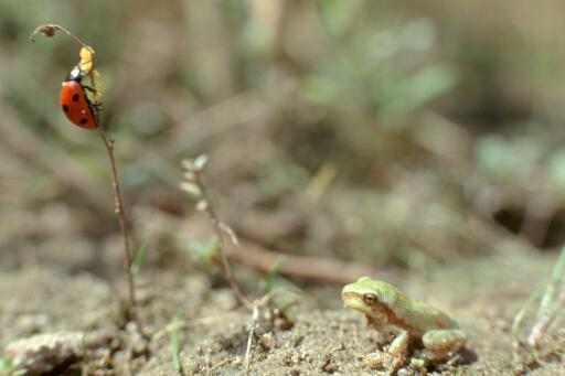 Junger Laubfrosch und Marienkäfer