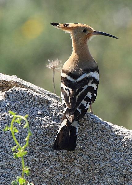 Wiedehopf: stark gefährdete Brutvogelart